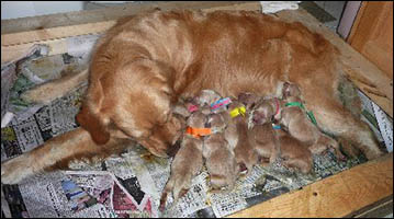 Maxie and her 11 pups
